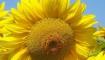 Статья. Чем полезны семечки подсолнечника, вред польза от семечек, семечки витамины